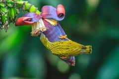 Uccello striato di Spiderhunter Fotografie Stock Libere da Diritti