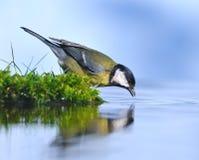 Uccello su acqua. Immagini Stock Libere da Diritti