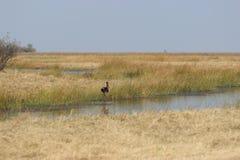 Uccello su acqua Fotografia Stock