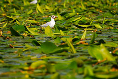 Uccello su acqua con le piante Immagine Stock
