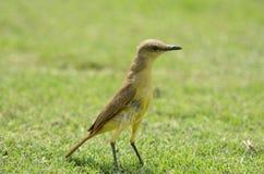 Uccello su erba Fotografie Stock Libere da Diritti