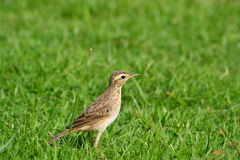 Uccello su erba verde Fotografia Stock