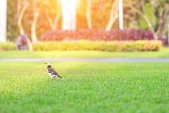 Uccello su erba verde al parco con il giardino della natura della sfuocatura fotografie stock