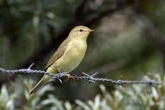 Uccello su filo Fotografie Stock
