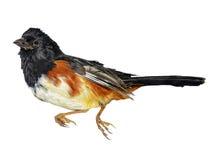 Uccello su priorità bassa bianca Immagine Stock