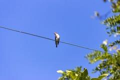 Uccello su un cavo Fotografia Stock