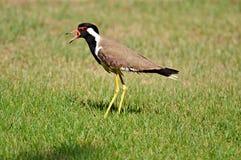 Uccello su un'erba Immagini Stock Libere da Diritti
