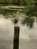 Uccello su un lago Fotografia Stock