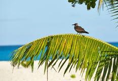 Uccello su un ramo della palma, Seychelles Immagine Stock Libera da Diritti