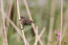 Uccello su una canna Fotografie Stock Libere da Diritti