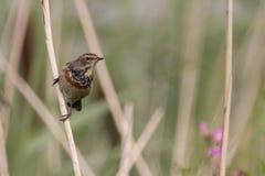 Uccello su una canna Fotografia Stock Libera da Diritti