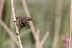 Uccello su una canna Fotografie Stock
