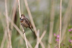 Uccello su una canna Fotografia Stock