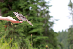 Uccello su una mano Fotografie Stock Libere da Diritti