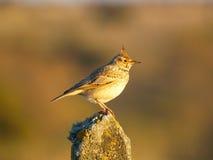 Uccello su una pietra Fotografia Stock