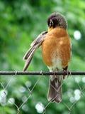 Uccello su una rete fissa Fotografia Stock