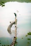 Uccello sul lago Fotografia Stock