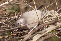 Uccello sul nido Fotografia Stock Libera da Diritti