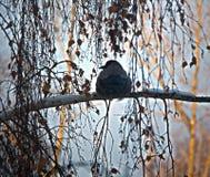 Uccello sul ramo Immagine Stock