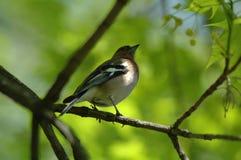 Uccello sul ramo Fotografie Stock Libere da Diritti