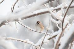 Uccello sul ramo di albero ghiacciato Fotografia Stock