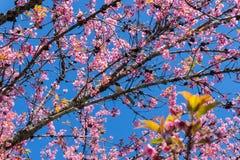 Uccello sul ramo di sakura e sul chiaro cielo immagine stock