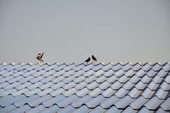 Uccello sul tetto Fotografia Stock