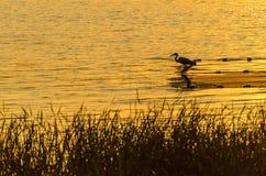 Uccello sull'acqua Immagini Stock