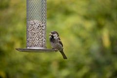 Uccello sull'alimentatore fotografia stock libera da diritti