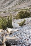 Uccello sull'isola dell'Oman Hallanyiat Immagine Stock