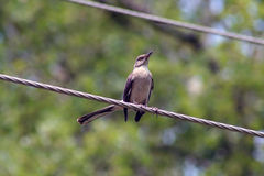 Uccello sulla linea elettrica Fotografia Stock
