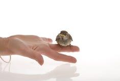 Uccello sulla mano Fotografie Stock