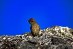 Uccello sulla montagna Cape Town Sudafrica della Tabella Immagini Stock Libere da Diritti
