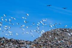 Uccello sulla montagna di immondizia Immagini Stock