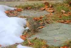 Uccello sulla neve Immagini Stock
