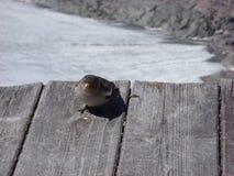 Uccello sulla neve fotografie stock libere da diritti