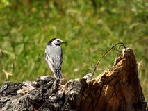 Uccello sulla roccia di estate Fotografie Stock Libere da Diritti
