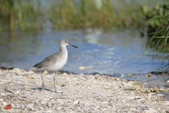 Uccello sulla spiaggia Immagini Stock Libere da Diritti