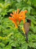 Uccello sveglio di Sunbird con il fiore nel giardino fotografie stock libere da diritti