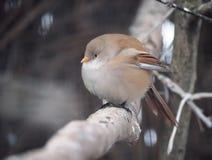 Uccello sveglio piccolo che si siede al ramo Immagini Stock