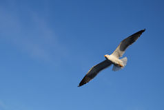 Uccello in Svezia Immagine Stock Libera da Diritti