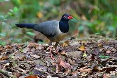 uccello a terra Corallo-fatturato del cuculo fotografia stock libera da diritti