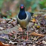 uccello a terra Corallo-fatturato del cuculo fotografie stock