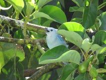 uccello tipico del Venezuela o del Sudamerica blu dominante di colore Locanda su un albero fotografia stock libera da diritti
