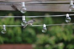 Uccello trapuntato del paro sulle luci Fotografia Stock Libera da Diritti