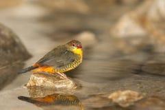 Uccello tropicale Immagine Stock