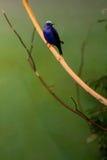 Uccello tropicale blu Fotografia Stock