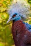 Uccello tropicale con le piume blu sul suo testa e occhi rossi Immagine Stock