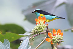 Uccello tropicale multicolore & fiori nell'Ecuador Fotografia Stock Libera da Diritti