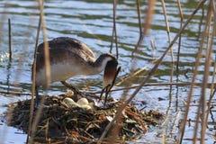 Uccello un lago Fotografia Stock Libera da Diritti